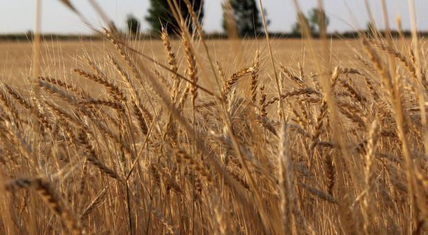 Kazachstan: Zbiory zbóż w 2020 r. nieco poniżej 20,1 mln ton