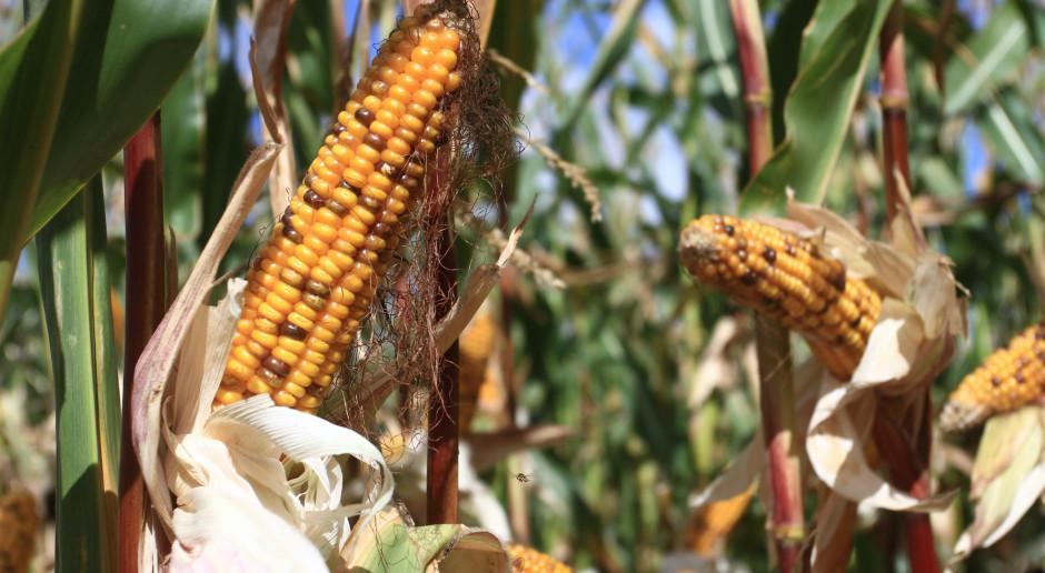 PIdS Online: Kukurydza nie tylko w plonie głównym