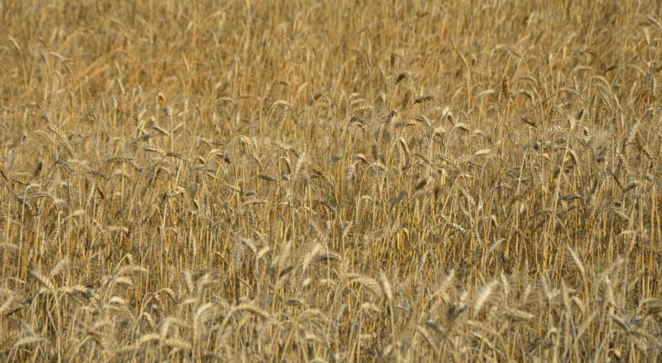 Ceny surowców rolnych w górę. Po ile ziarno z tegorocznych zbiorów?