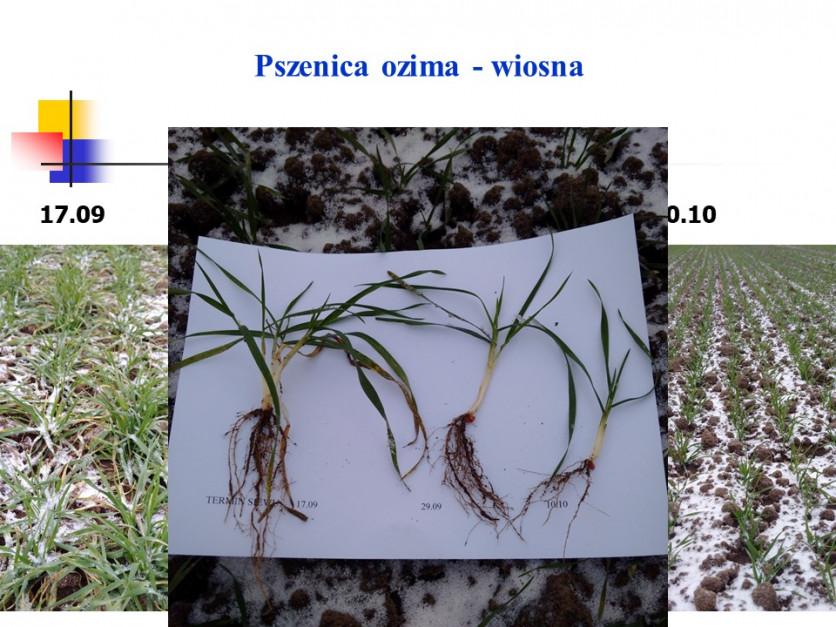 Stan rozkrzewienia roślin w zależności od terminu siewu Fot. Witold Szczepaniak