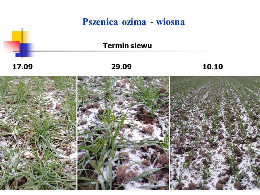 Stan pszenicy ozimej w zależności od terminu siewu Fot. Witold Szczepaniak