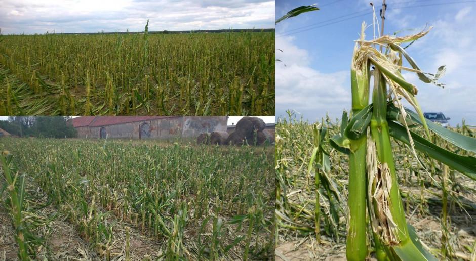 Jakie szkody są najgroźniejsze w uprawie kukurydzy?