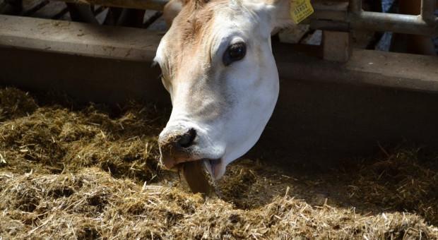 Olejek z oregano wpływa na wydajność i zachowanie bydła