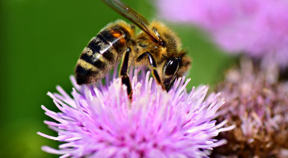 Pszczoły, aby przetrwać też potrzebują zbilansowanej diety