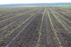 Jak zaplanować skuteczne odchwaszczanie kukurydzy?