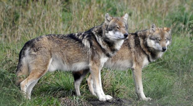 Atak wilków wieczorem? Odszkodowania nie będzie