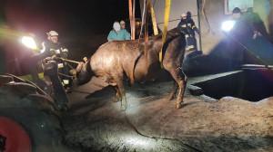 Strażakom udało się uratować byki z opresji, Foto: KM PSP Konin