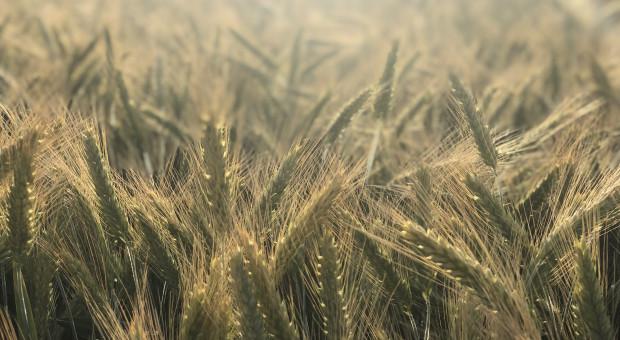Raport z krajowych skupów zbóż - delikatna korekta cen pszenicy i rzepaku