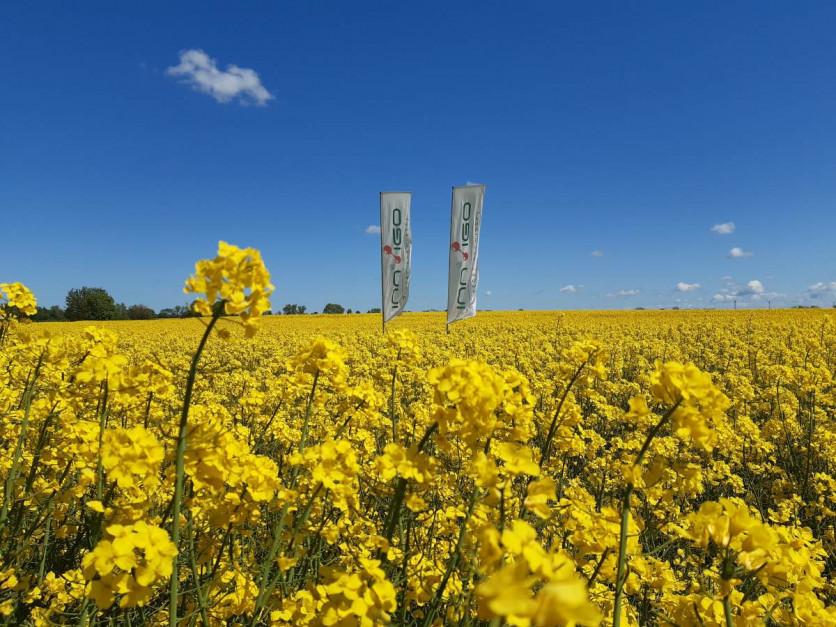 Rzepak kwitnie od trzech do pięciu tygodni, w tym okresie narażony jest na infekcje zgnilizną twardzikową Fot. A. Kobus