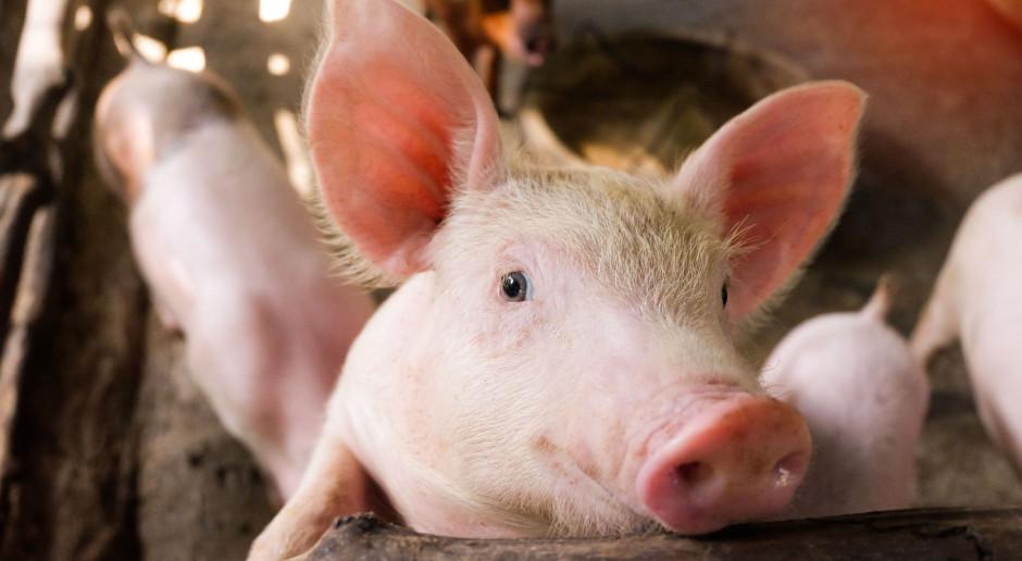 Duży spadek pogłowia świń. Zniknęło ponad 20 proc. stad!