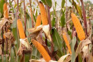 Prywatni eksporterzy sprzedali amerykańską kukurydzę o wartości 251 mln dolarów