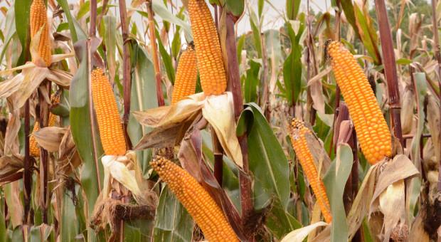 Mogą skontrolować dokumenty zakupu materiału siewnego kukurydzy