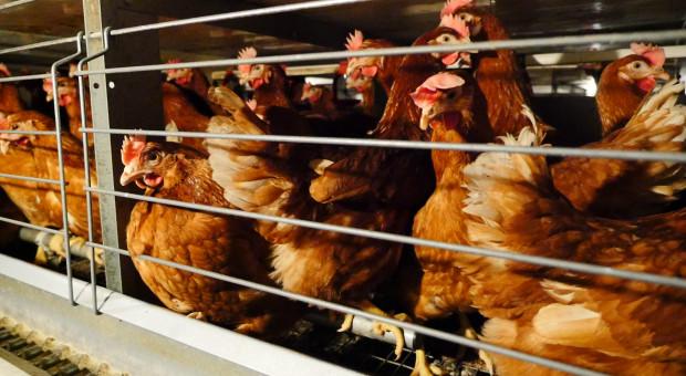 Giganci branży spożywczej też przeciwko klatkowej hodowli kur