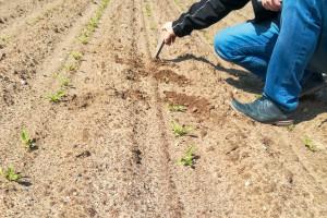 Problemy na starcie uprawy buraka cukrowego