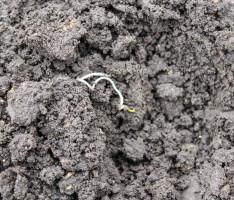 Wygląd siewki powstały na skutek zaskorupienia gleby