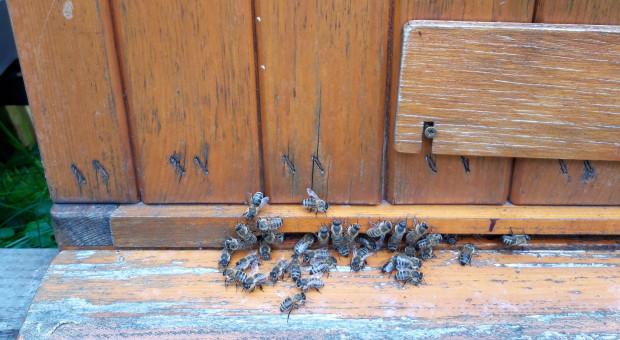 Rozpoczęło się badanie strat zimowych rodzin pszczelich