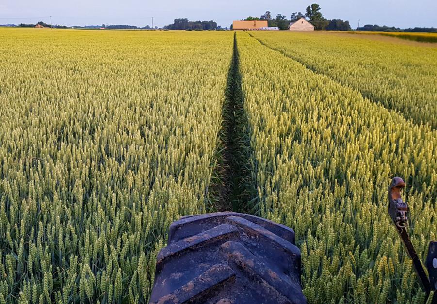 Tak wygląda pszenica zasiana siewnikiem Strip Drill z podsiewem nawozu. Jak podkreślają rolnicy decydującym czynnikiem plonotwórczym na ich polach jest woda