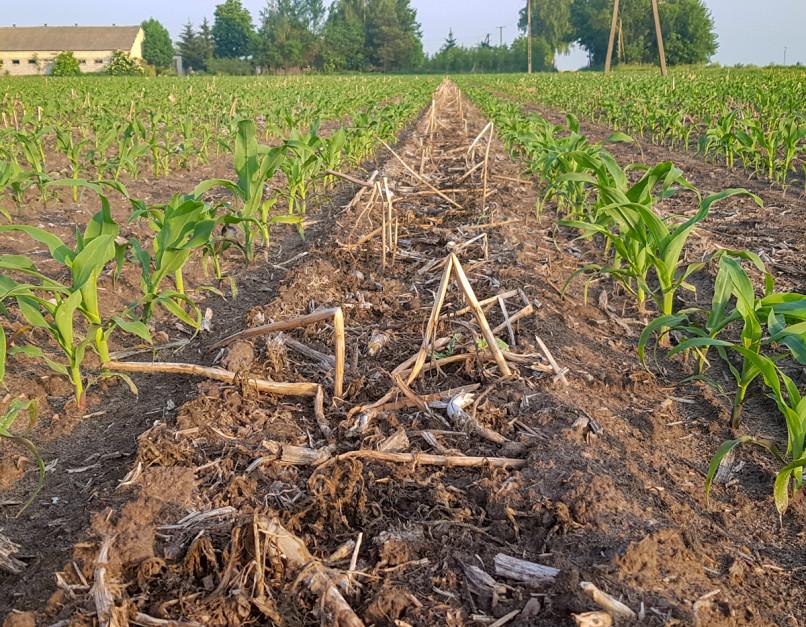 Do uprawy przed siewem kukurydzy rolnicy wykorzystują agregat Kverneland Cultistrip. Wjednym przejeździe uprawia on glebę iaplikuje wgłębnie nawozy, pozostawiając resztki zpoplonów pomiędzy rzędami roślin