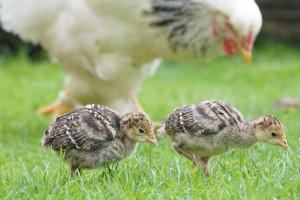 Niemcy: Grypa ptaków - 1,4 miliona zabitych zwierząt