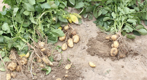 Nadmiar chloru w nawozach może szkodzić uprawom