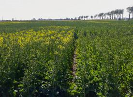 Rośliny niedożywione azotem przyspieszają fazę kwitnienia (lewa strona zdjęcia)