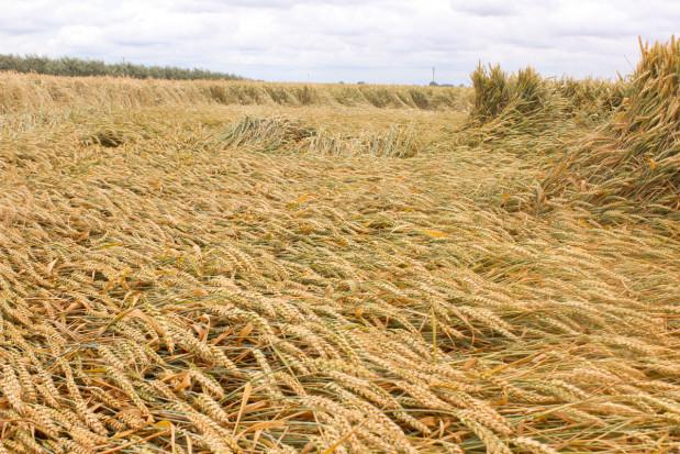 Ochrona zbóż wkluczowej fazie