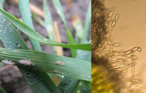 Mączniak prawdziwy zbóż i traw Blumeria graminis