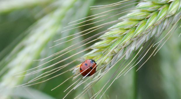 Kiedy potrzebny jest trzeci zabieg w uprawie zbóż?