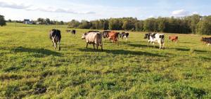 Krowy wgospodarstwie państwa Elzy iRenārsa Raguckis przez trzy letnie miesiące sąwypuszczane napastwisko