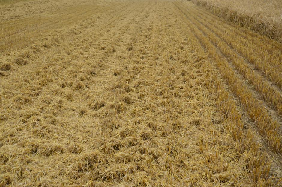 Sawicki: Jak przygotować pole do uprawy pasowej?