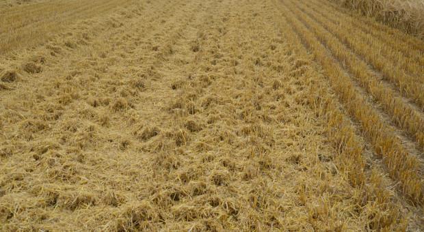 Sawicki: Jak przygotować pole do uprawy pasowej ?