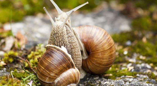 Tegoroczny limit zbioru ślimaka winniczka w regionie lubuskim to 150 ton