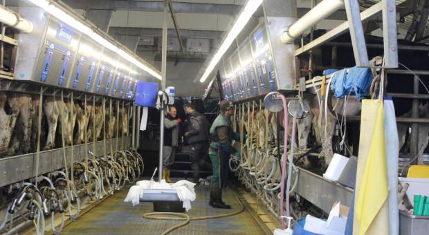 Brakuje im rąk do pracy. Działalność może zakończyć nawet jedna trzecia hodowców bydła mlecznego