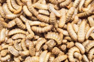 Jakie bariery stoją przed białkiem owadzim?