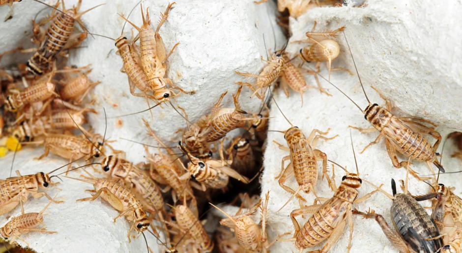 Czy wykorzystamy potencjał białka owadziego?