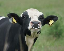 Doskonalenie genetyczne bydła mlecznego to długotrwały i skomplikowany proces, fot. Shutterstock