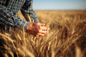 Kolejne nowe szczyty cen zbóż na światowych rynkach