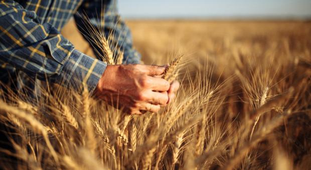 Ceny zbóż w skupach są stabilne. Soja kosztuje 2,7 tys. zł