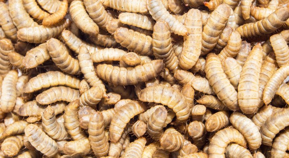 Korea Płd. stawia na hodowlę owadów w celach spożywczych