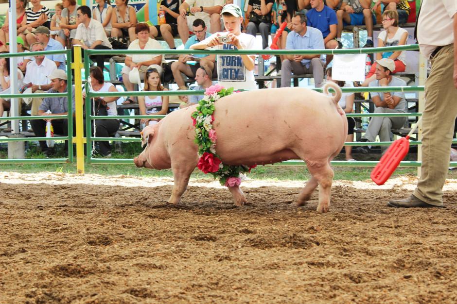 Pogłowie świń hodowlanych z roku na rok spada. Ta tendencja jest bardzo niepokojąca, fot I.Dyba