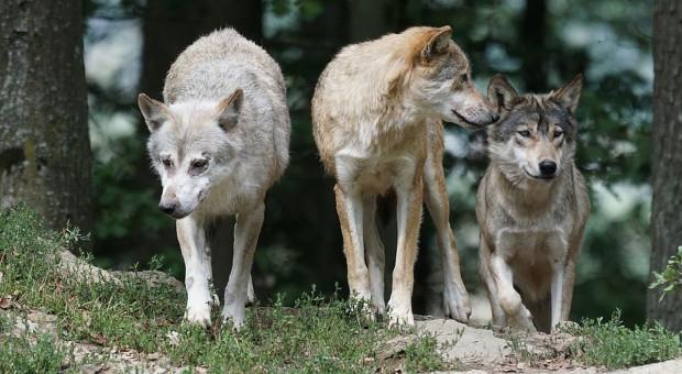 Dzieci zgubiły się w lesie i spotkały wilki