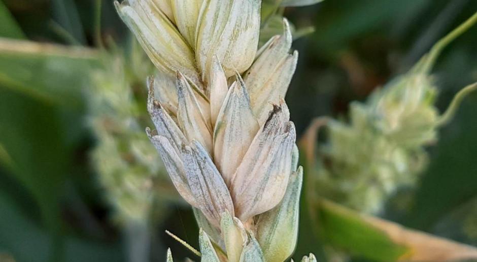 Bez skutecznych fungicydów trudno będzie prowadzić ochronę roślin