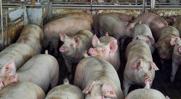 Ukraina: Duży spadek importu wieprzowiny