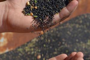 Pozyskiwane w Bionanoparku białko z rzepaku może zrewolucjonizować dietę
