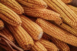 Jak walczyć z chwastami w uprawie kukurydzy?