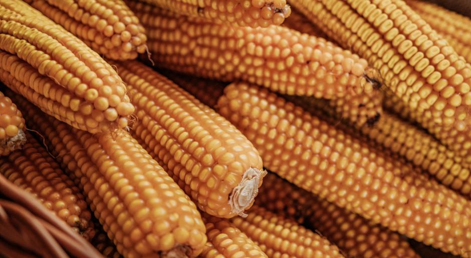 Warto spożywać produkty na bazie ziarna kukurydzy