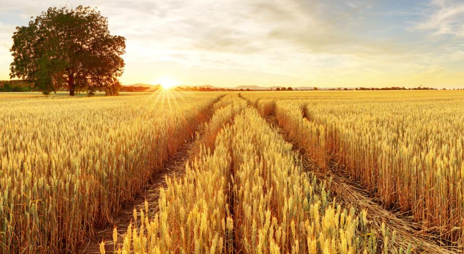 Mocny wzrost ceny pszenicy na paryskiej giełdzie