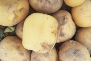 Olejek pomarańczowy przeciwko kiełkowaniu bulw ziemniaka