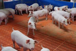 Odstępstwo od badań laboratoryjnych świń w kierunku ASF