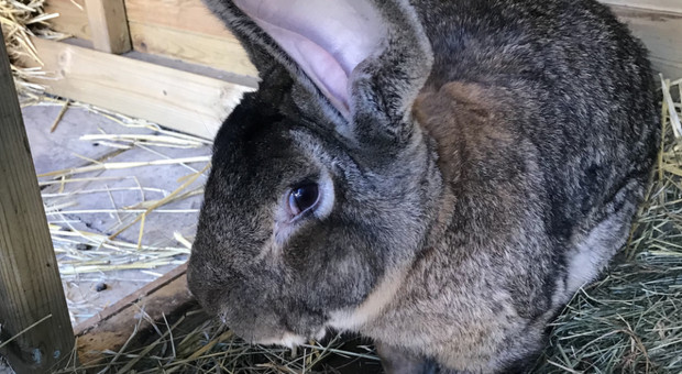 Ukradli największego królika świata